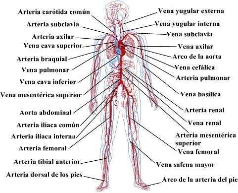 Sistema circulatorio: El circuito perfecto de la sangre
