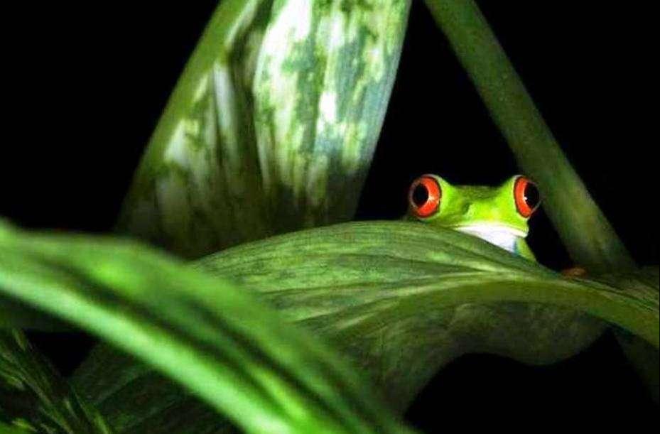 La enigmática rana de árbol de ojos rojos